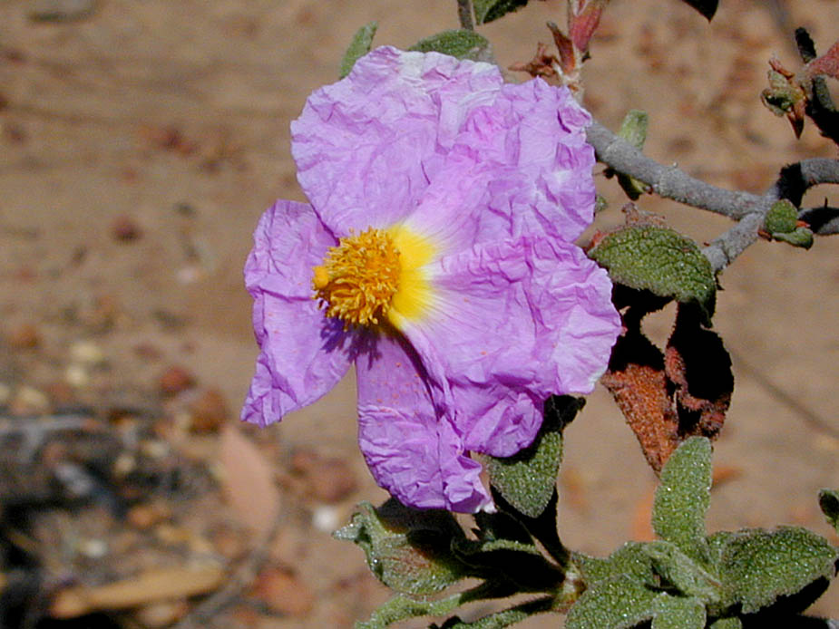 Cistus creticus; Photo # 49