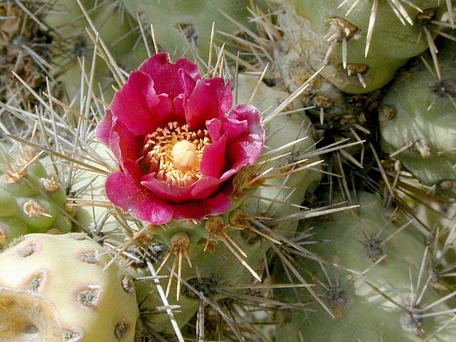 Cylindropuntia prolifera; Photo # 6