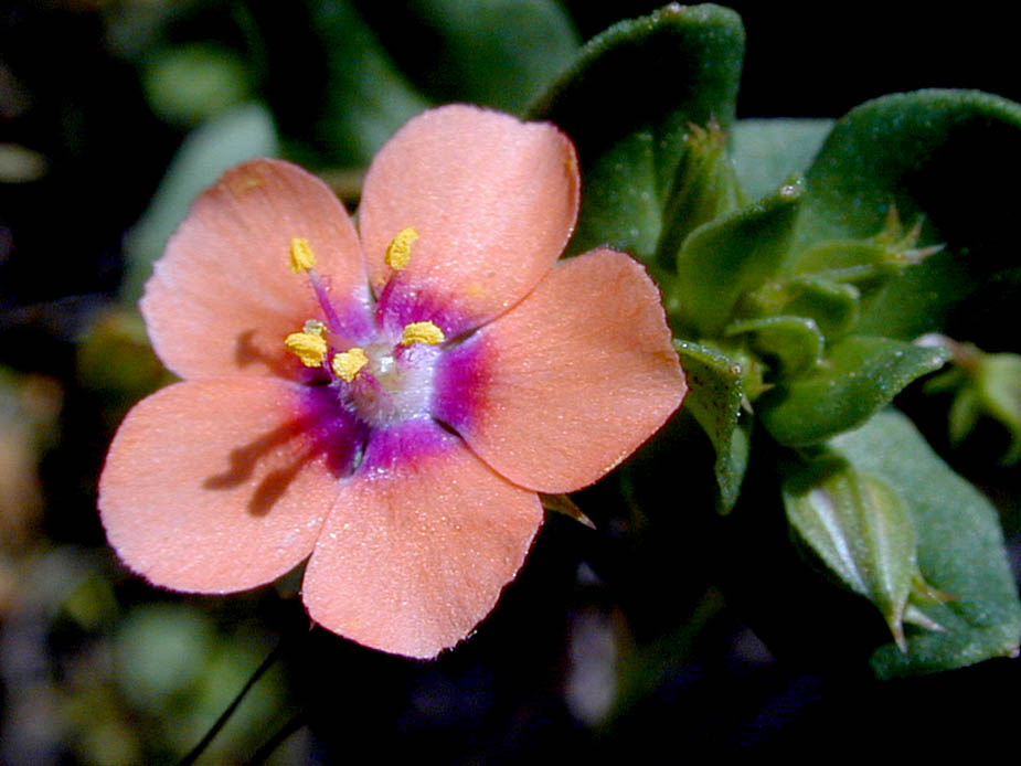 Anagallis arvensis; Photo # 92